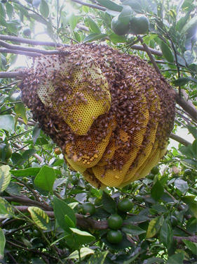 photo of a feral hive in a tree