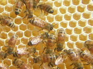 image of some bees on a honeycomb